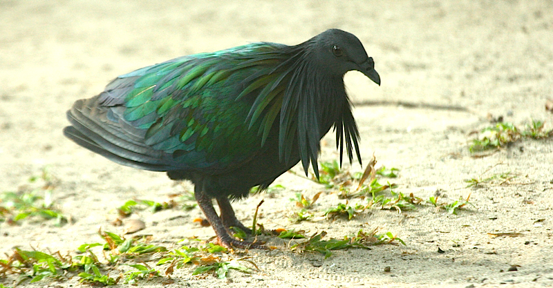 the Nicobar Pigeon  Endemic Species Nicobar Pigeon