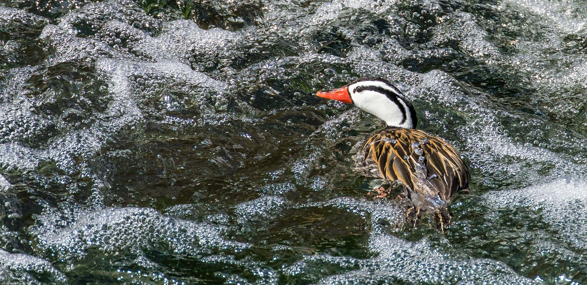 Torrent Duck Field Guides Birding Tours Peru