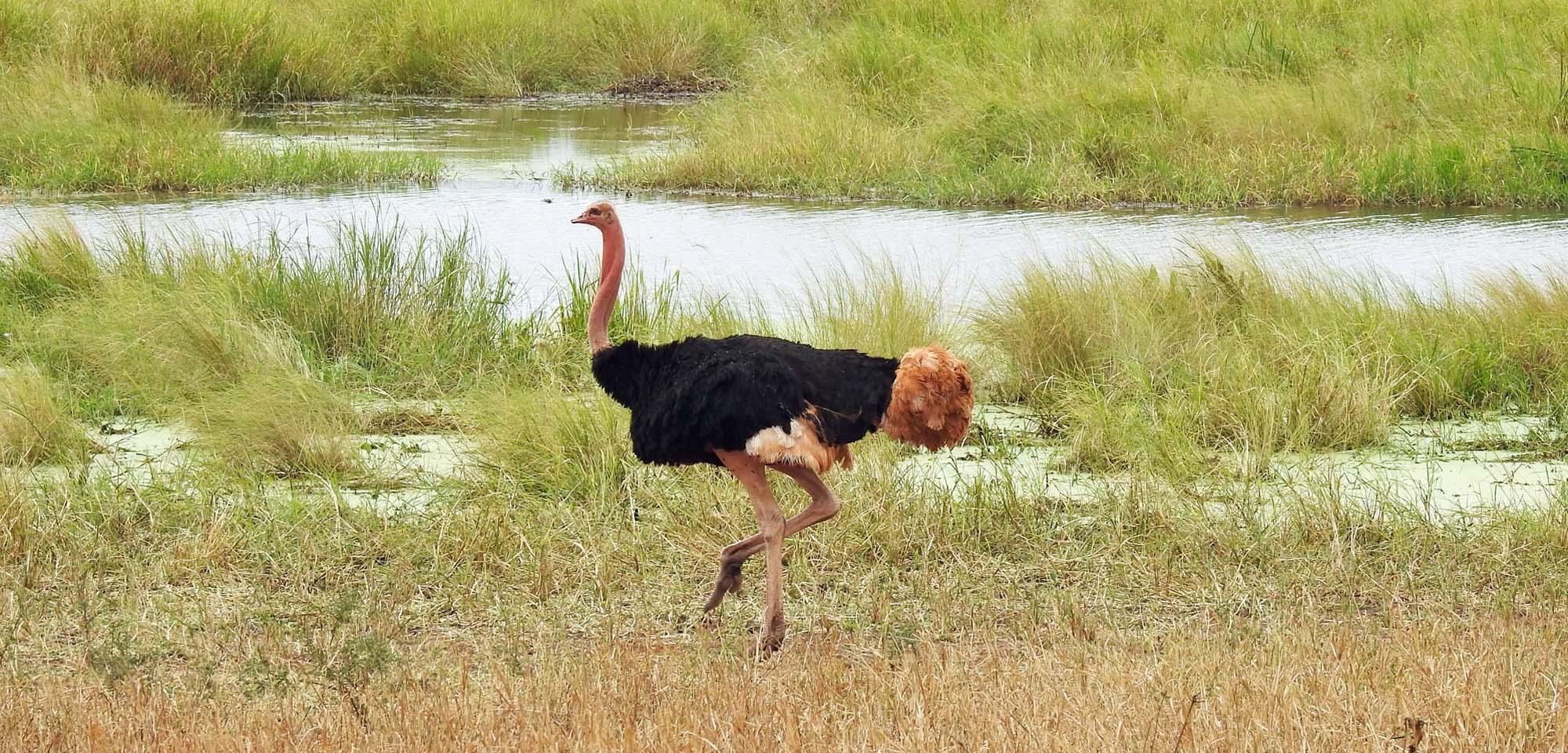 Ostrich Field Guides Birding Tours Kenya Tanzania