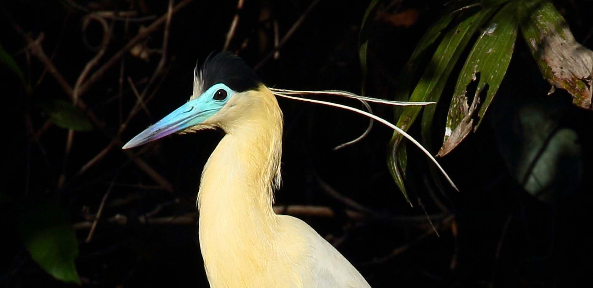 Capped Heron Field Guides Birding Tours Brazil