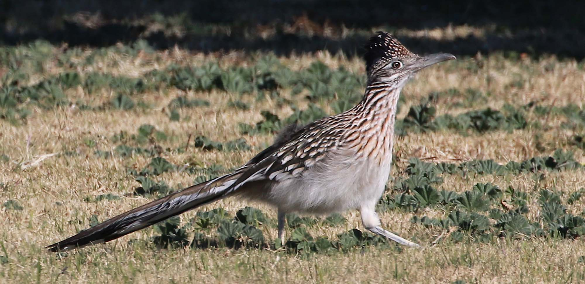 Greater Roadrunner Field Guides Birding Tours ARIZONA USA