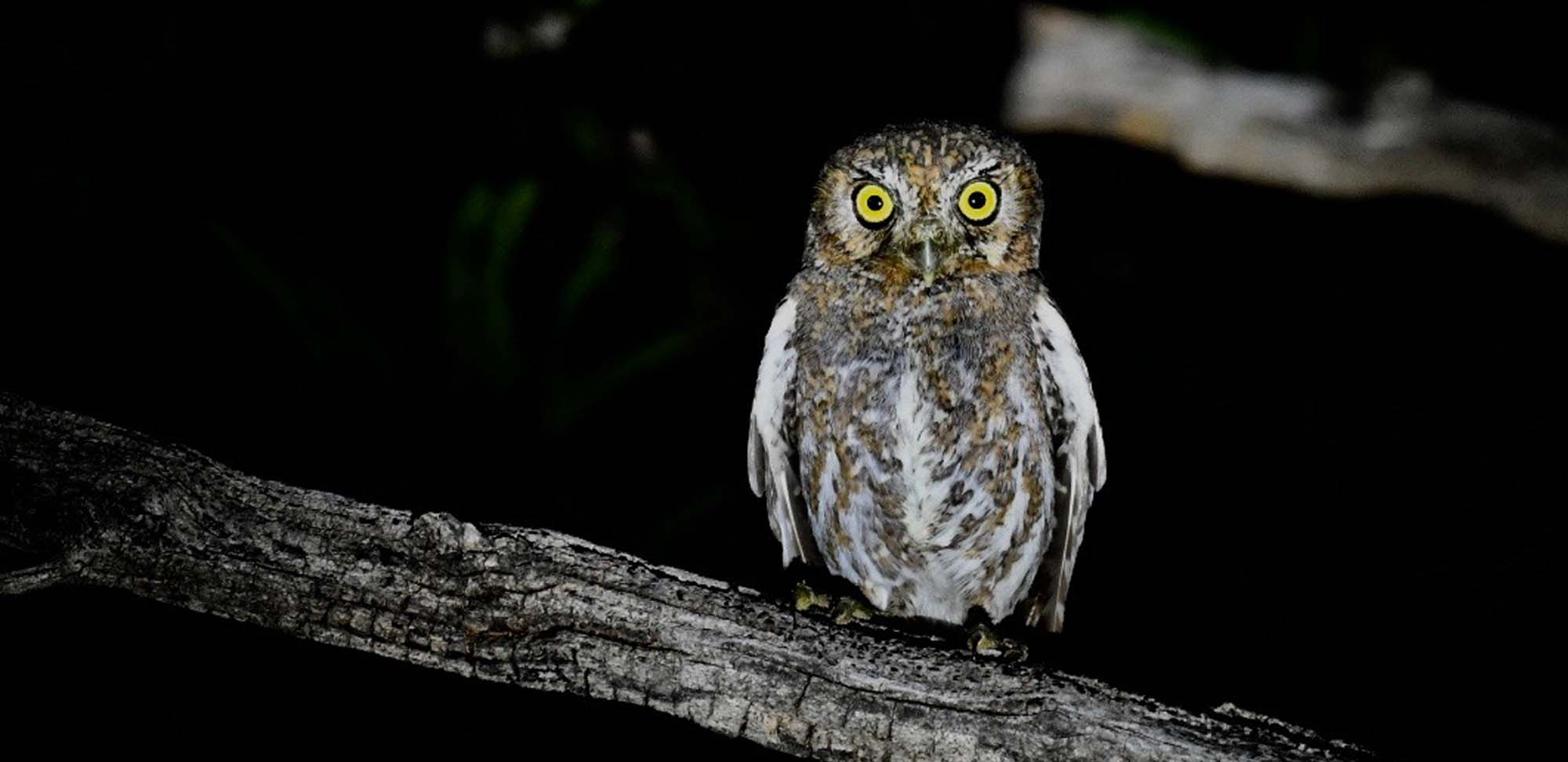 Elf Owl Field Guides Birding Tours ARIZONA USA