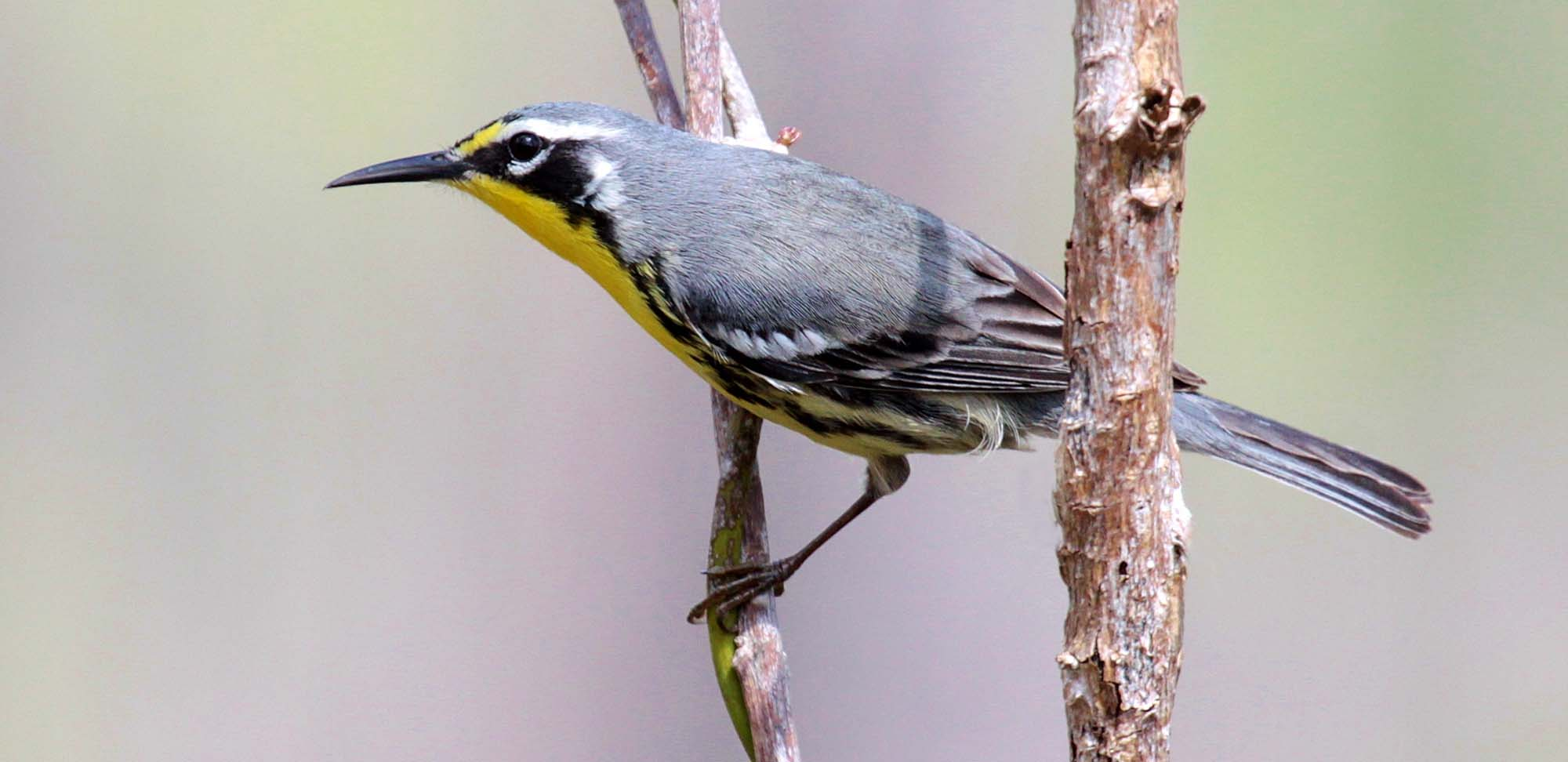 Bahama Warbler Field Guides Birding Tours Bahamas
