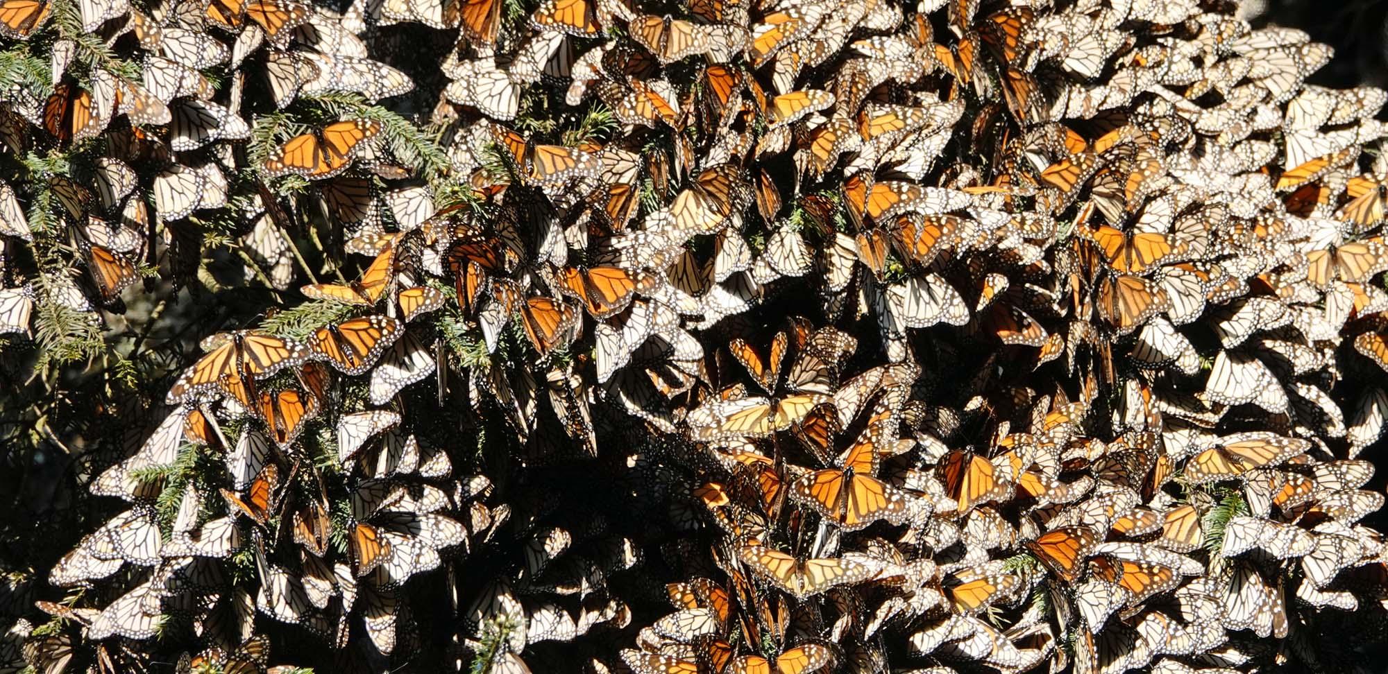 Monarchs Field Guides Birding Tours Mexico