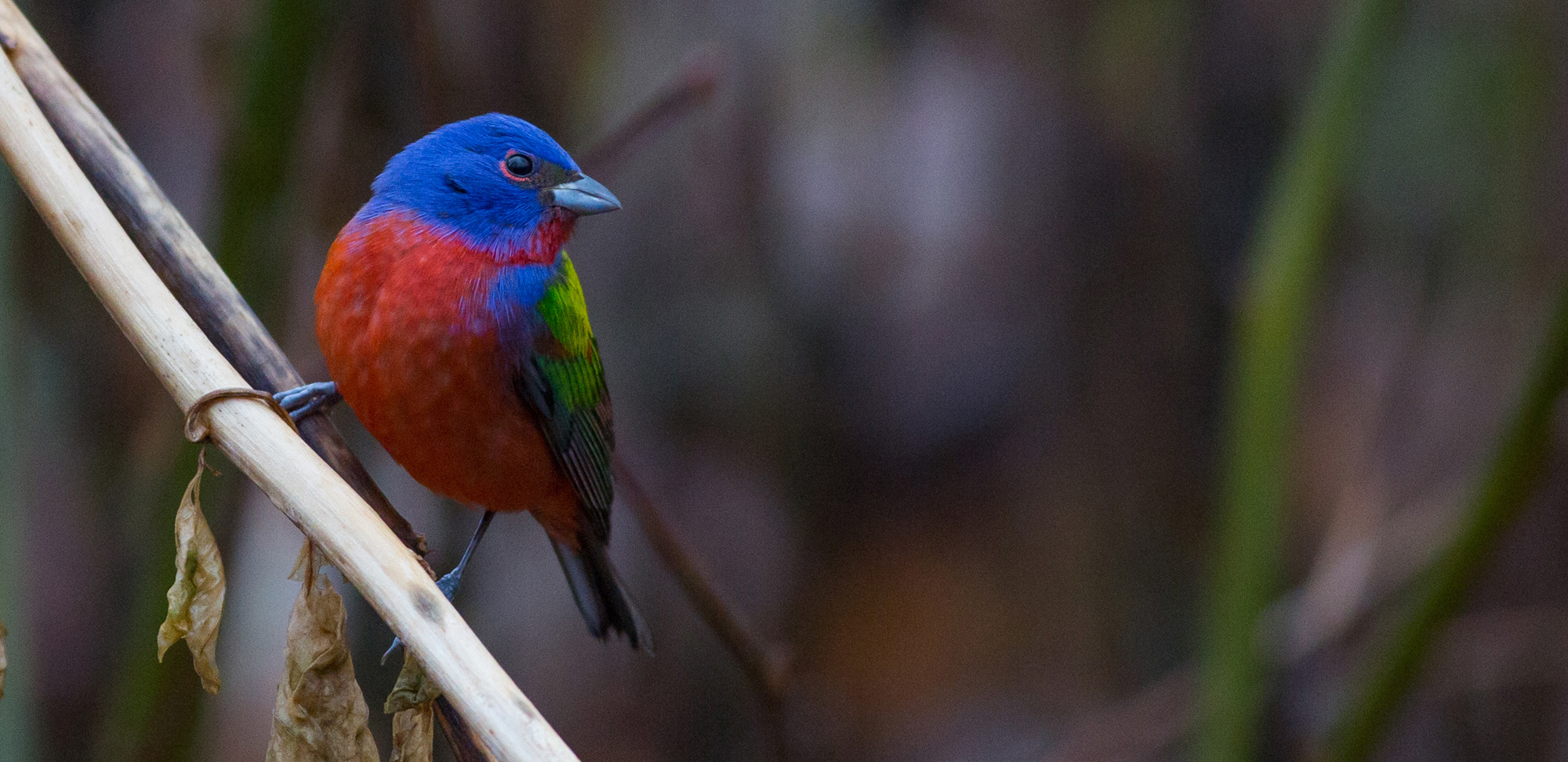 Painted Bunting Field Guides Birding Tours TEXAS USA
