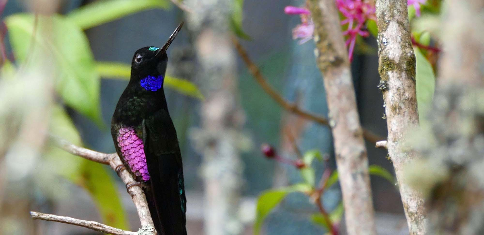 Blue-throated Starfrontlet Field Guides Birding Tours Colombia