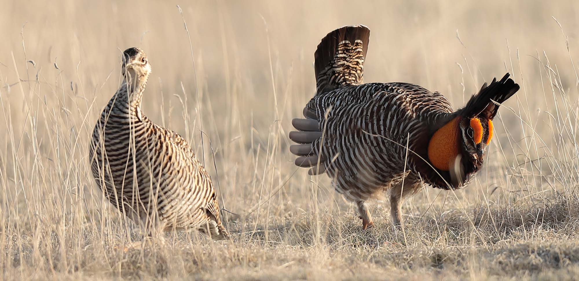 Greater Prairie-Chicken Field Guides Birding Tours COLORADO USA
