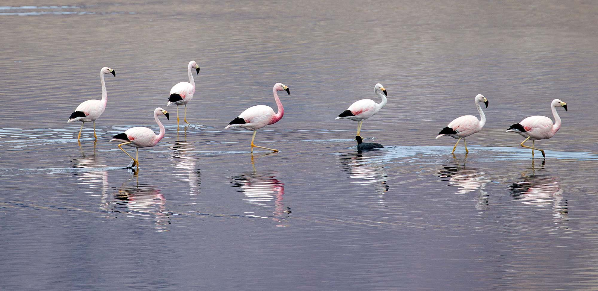 Andean Flamingos Field Guides Birding Tours Chile