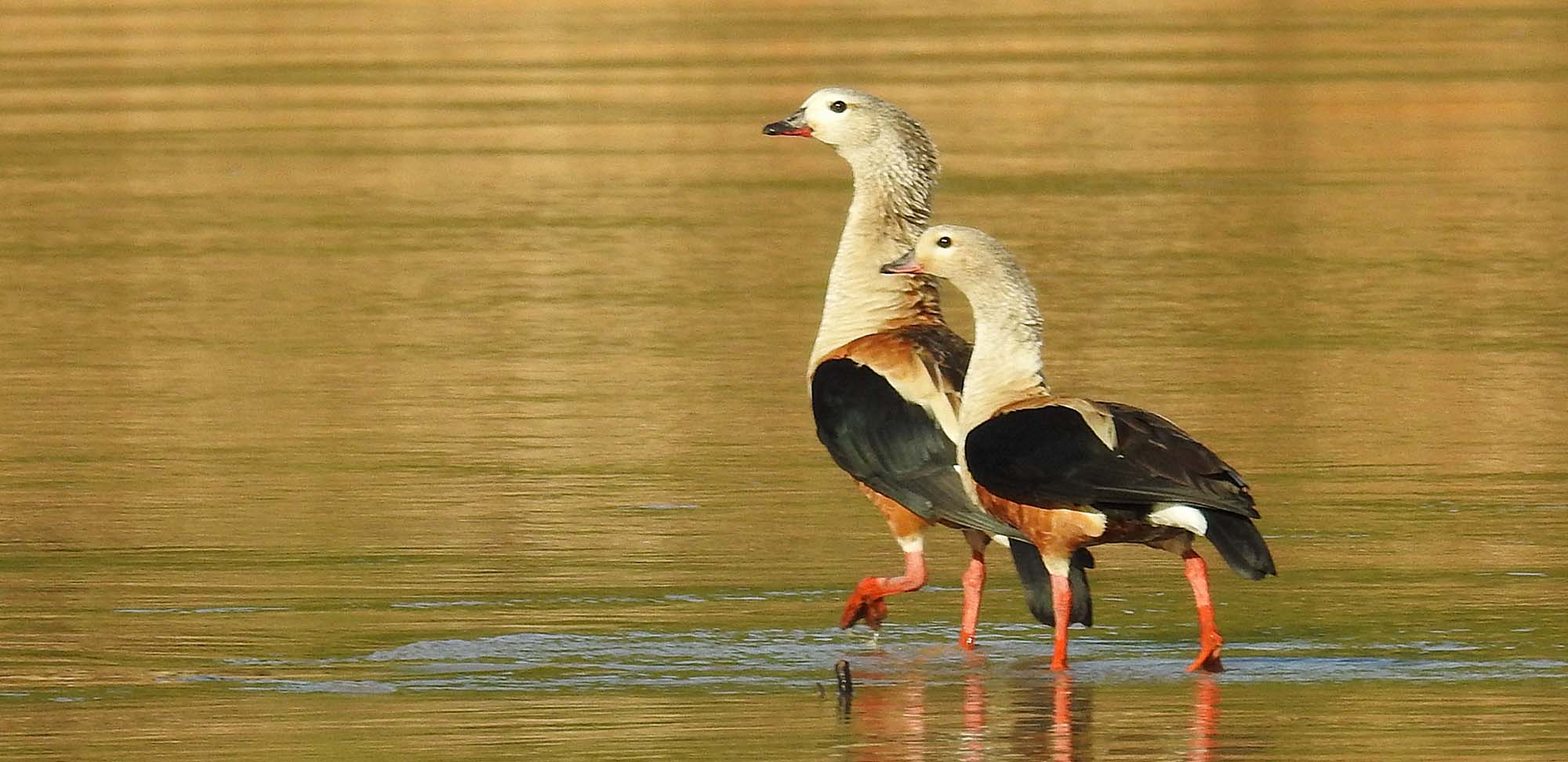 Orinoco Goose Field Guides Birding Tours Colombia