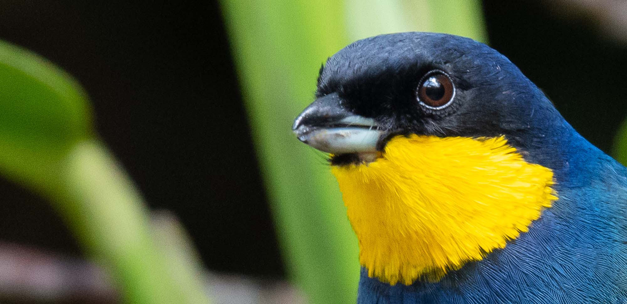 Purplish-mantled Tanager Field Guides Birding Tours Colombia