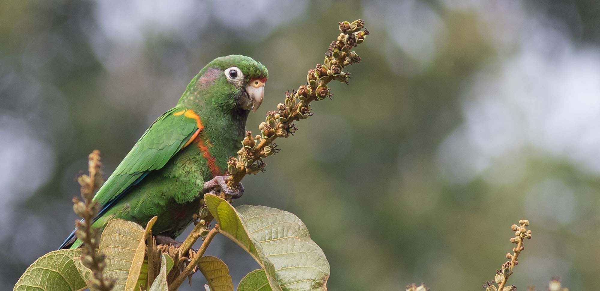 Santa Marta Parakeet Field Guides Birding Tours Colombia