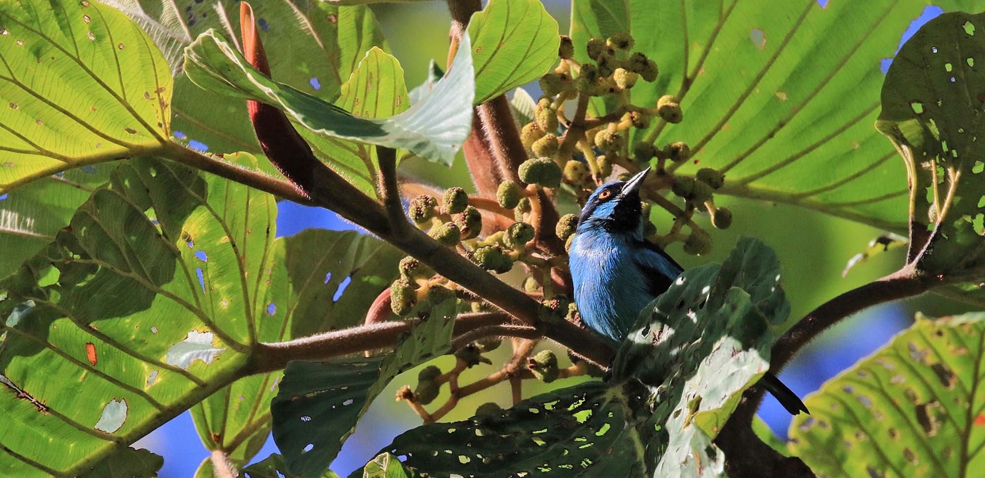 Turquoise Dacnis Field Guides Birding Tours Colombia