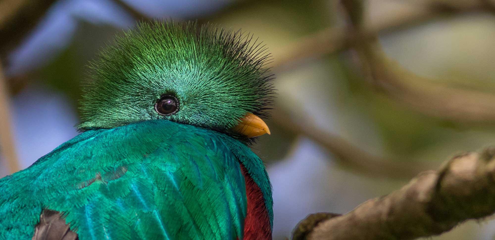 Resplendent Quetzal Field Guides Birding Tours Costa rica