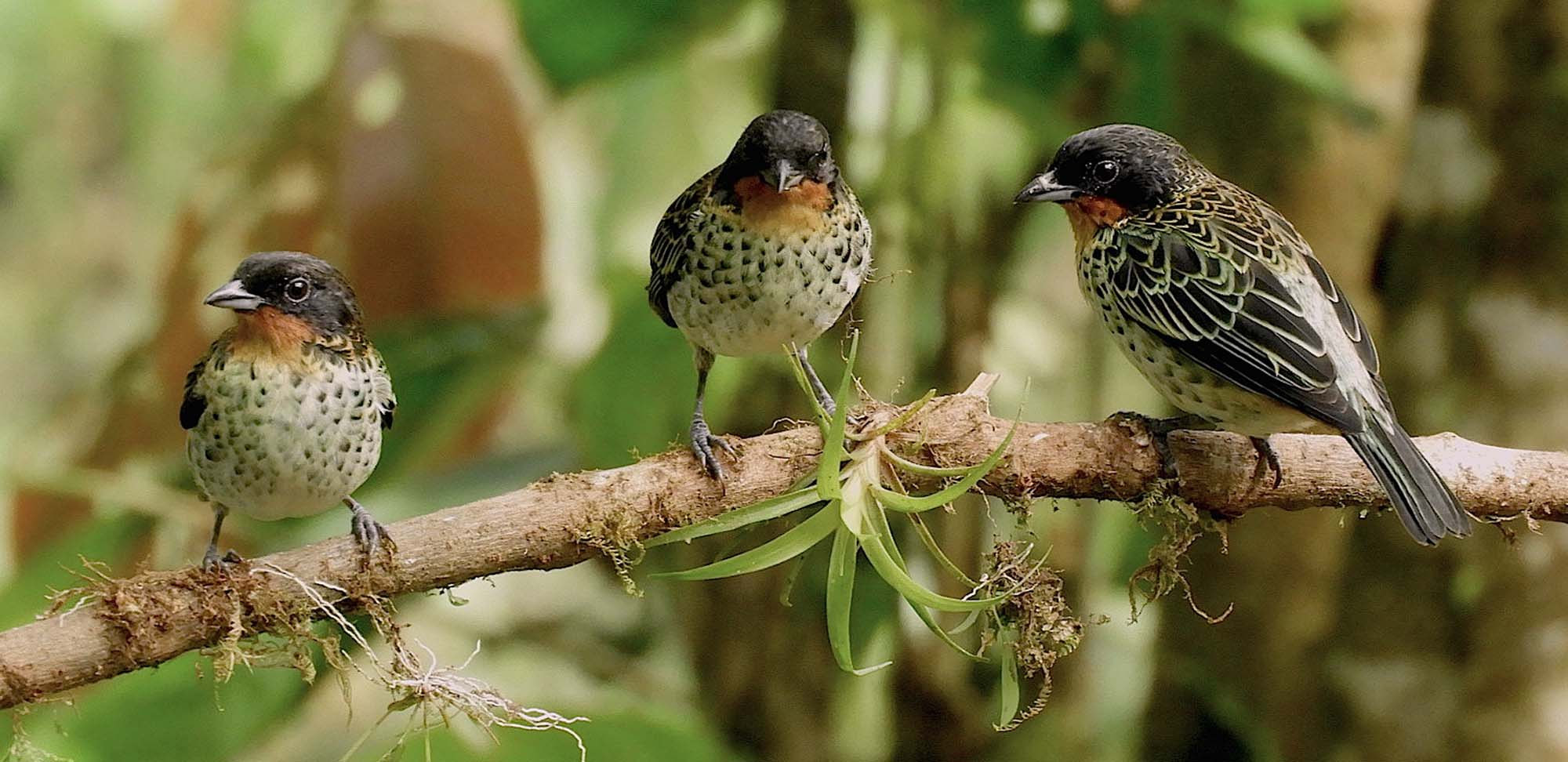 Rufous-throated Tanagers Field Guides Birding Tours Ecuador