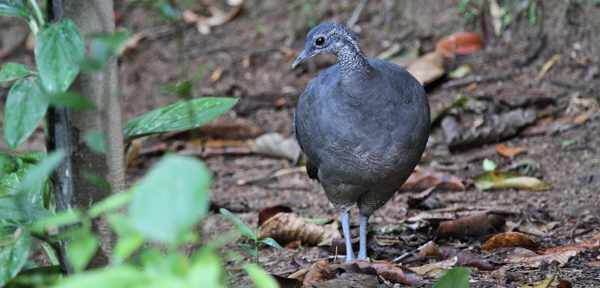 Gray Tinamou Field Guides Birding Tours Ecuador