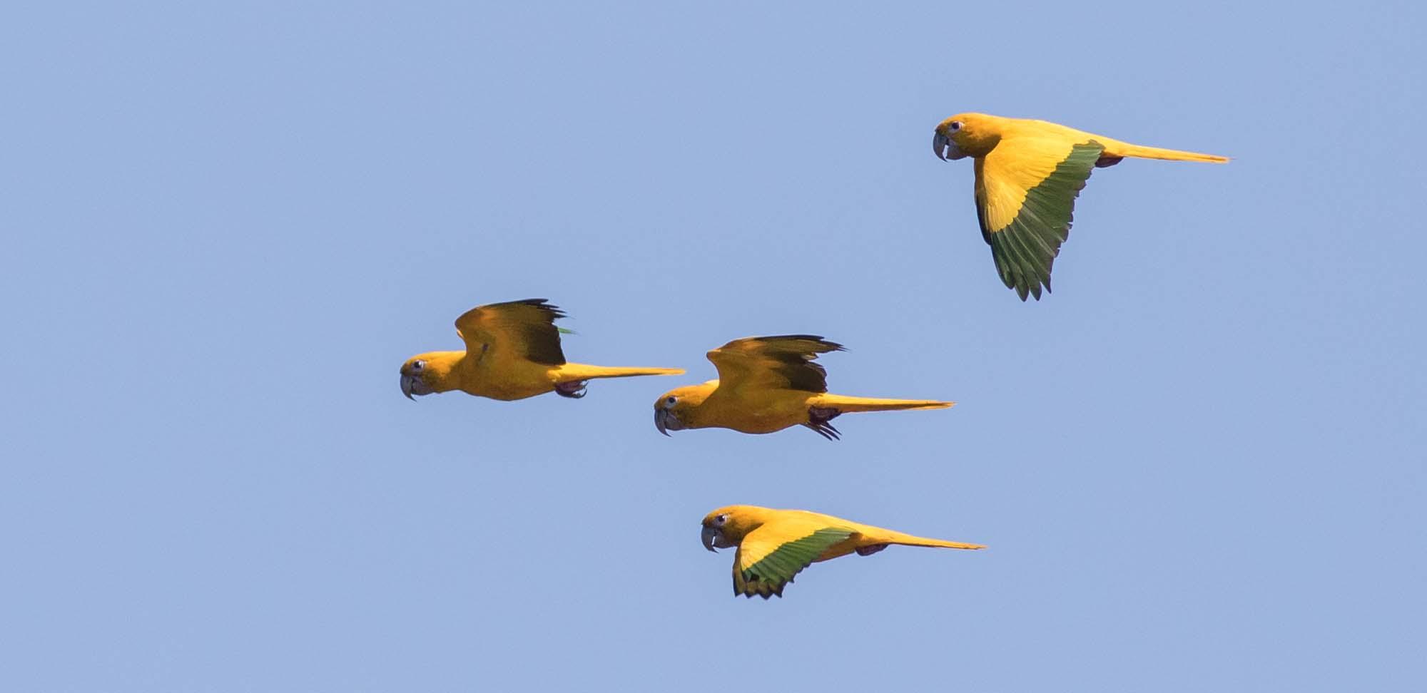 Golden Parakeets Field Guides Birding Tours Brazil