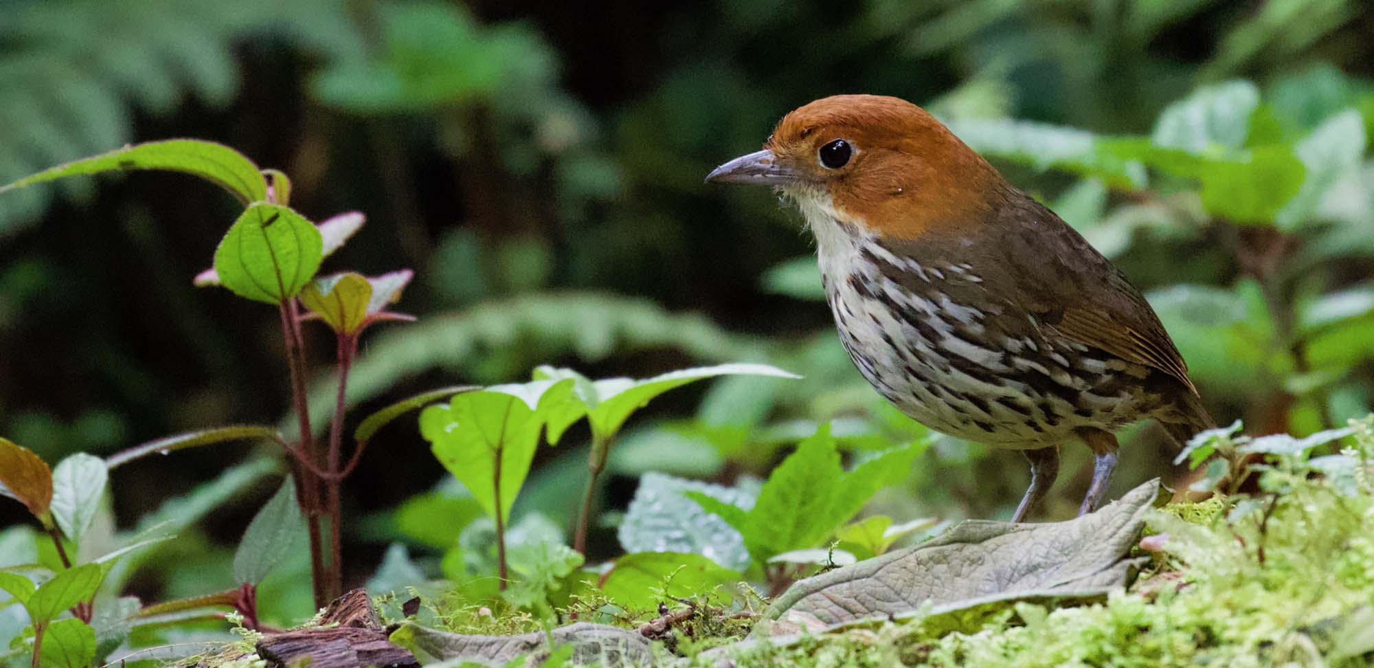 Chestnut-crowned Antpitta Field Guides Birding Tours Ecuador