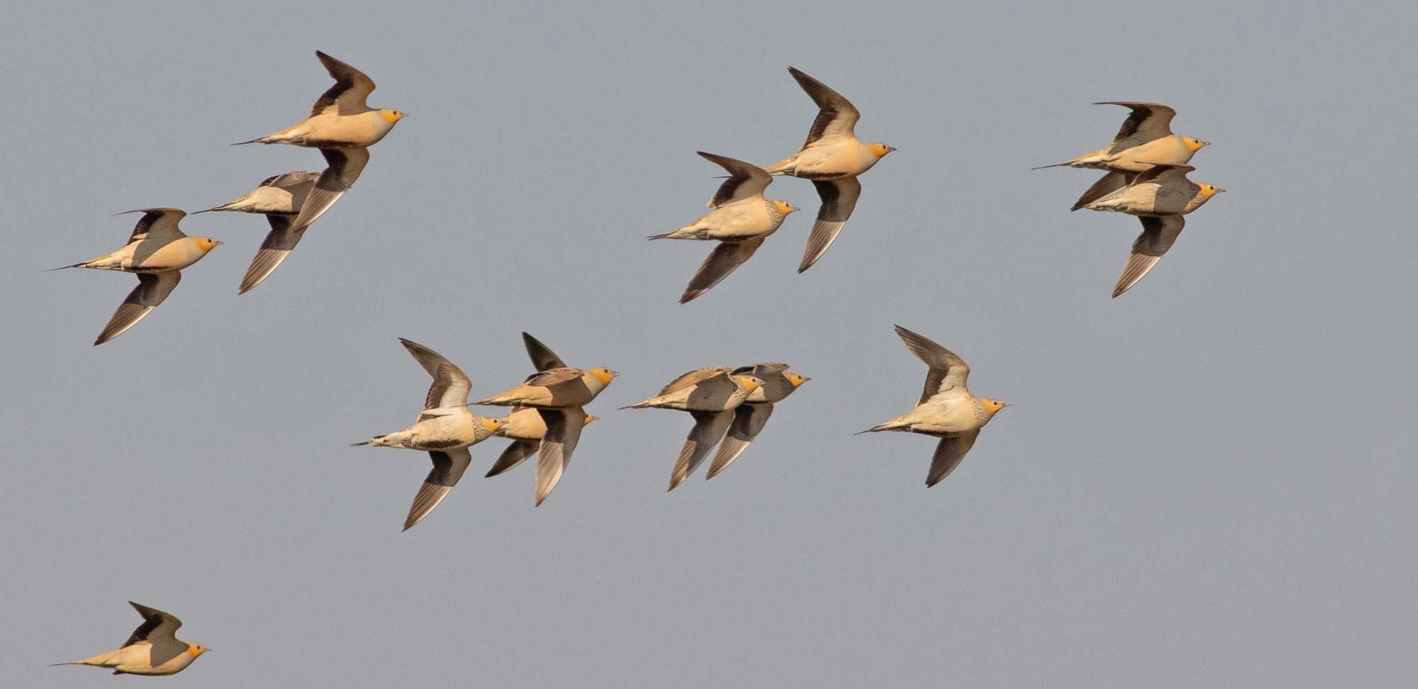 Spotted Sandgrouse Field Guides Birding Tours Israel
