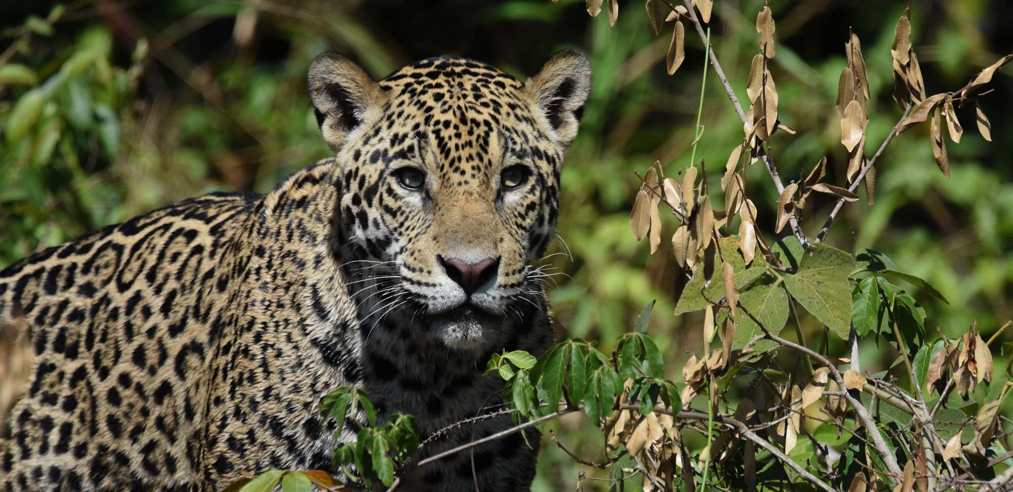 Jaguar Field Guides Birding Tours Brazil