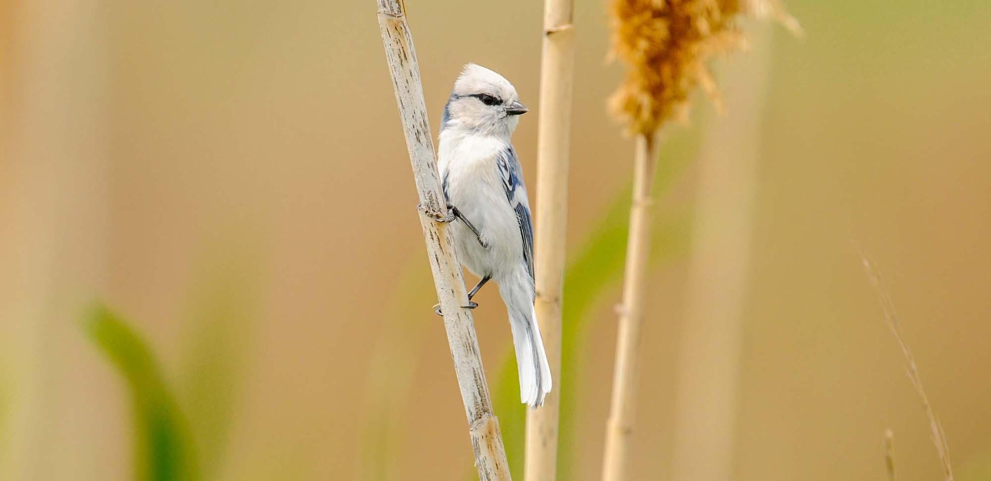 Azure Tit Field Guides Birding Tours Uzbekistan Kazakhstan