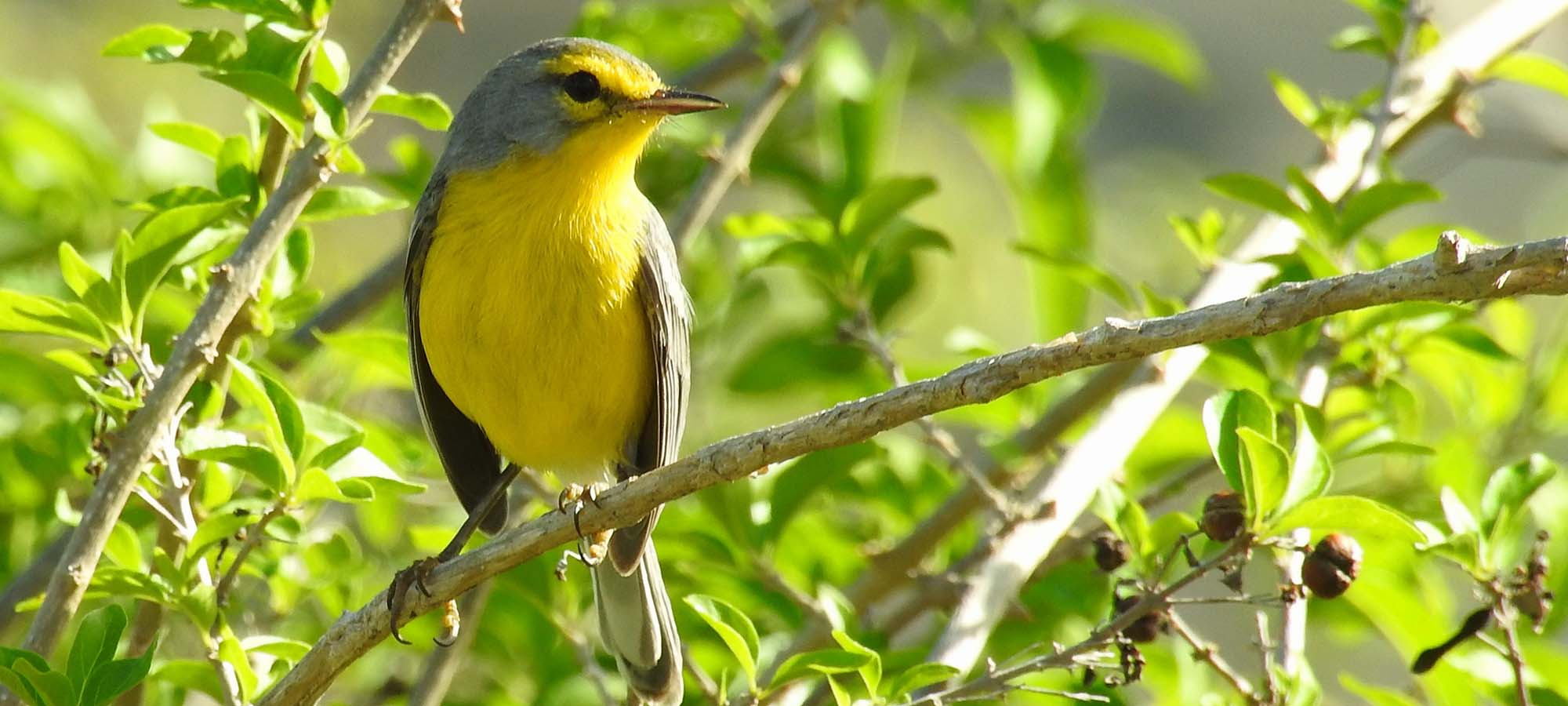 Barbuda Warbler Field Guides Birding Tours Lesser antilles