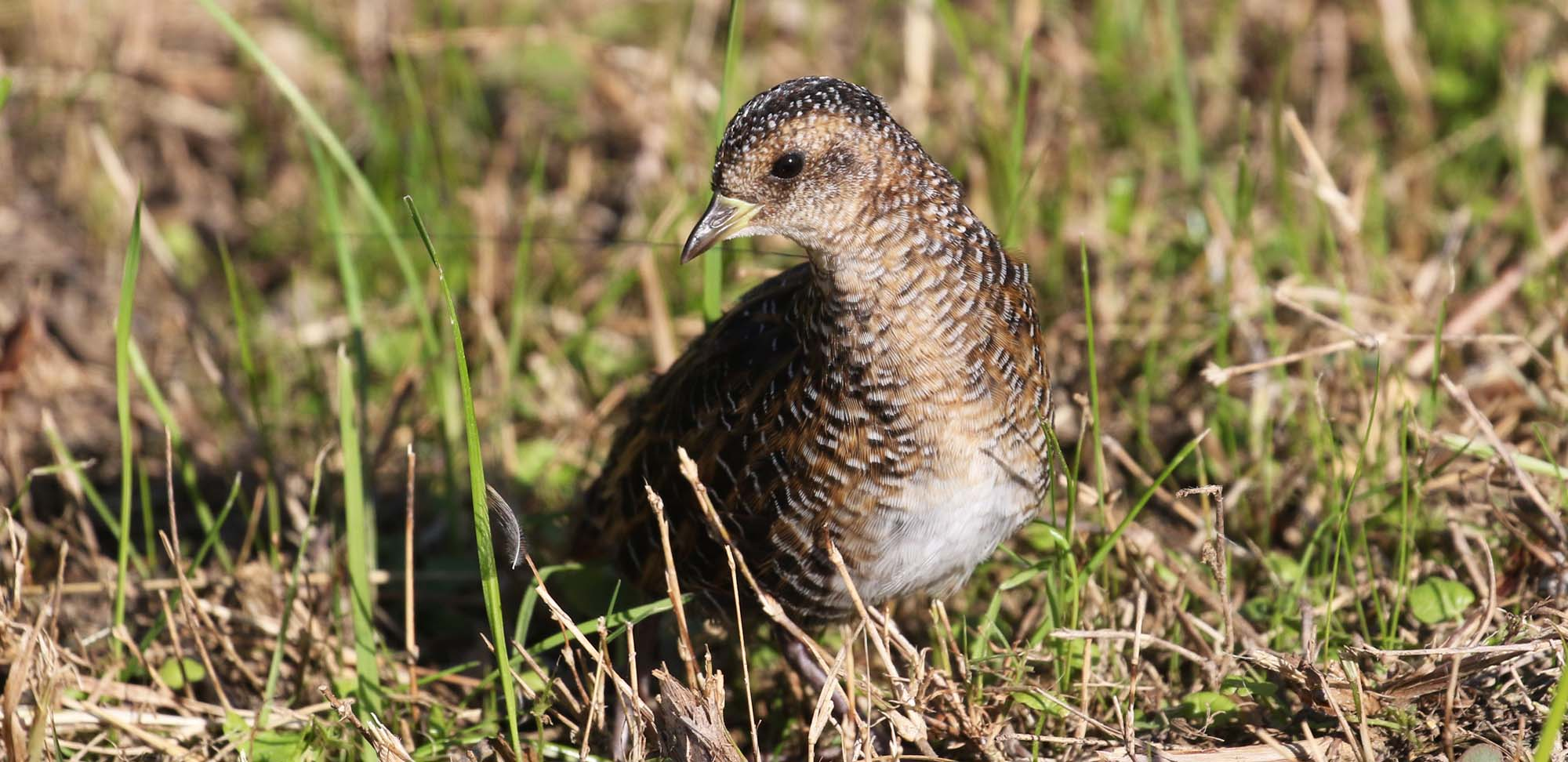 Yellow Rail Field Guides Birding Tours LOUISIANA USA