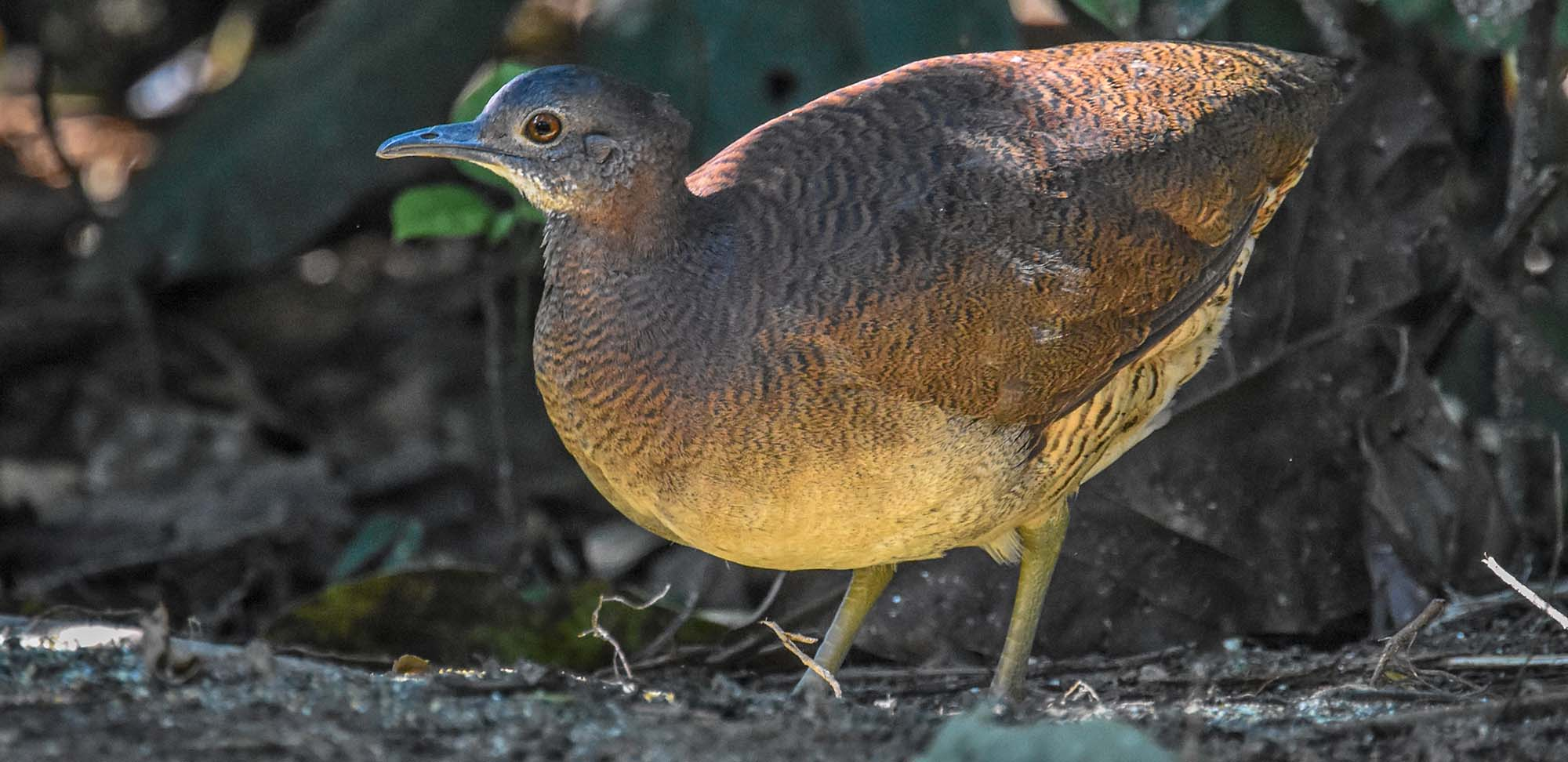 Undulated Tinamou Field Guides Birding Tours Peru