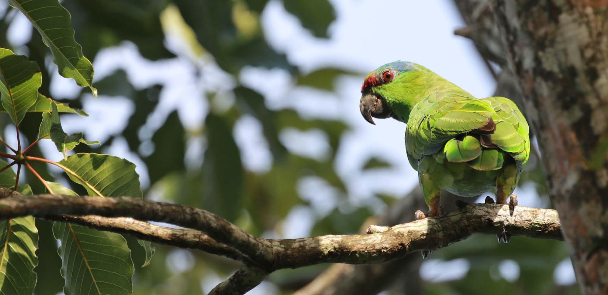 Festive Parrot Field Guides Birding Tours Brazil