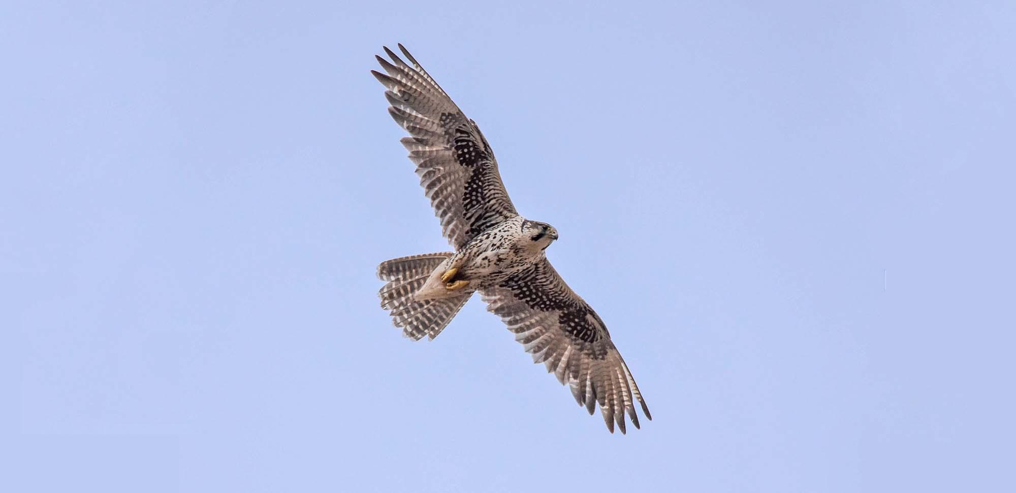 Saker Falcon Field Guides Birding Tours Mongolia