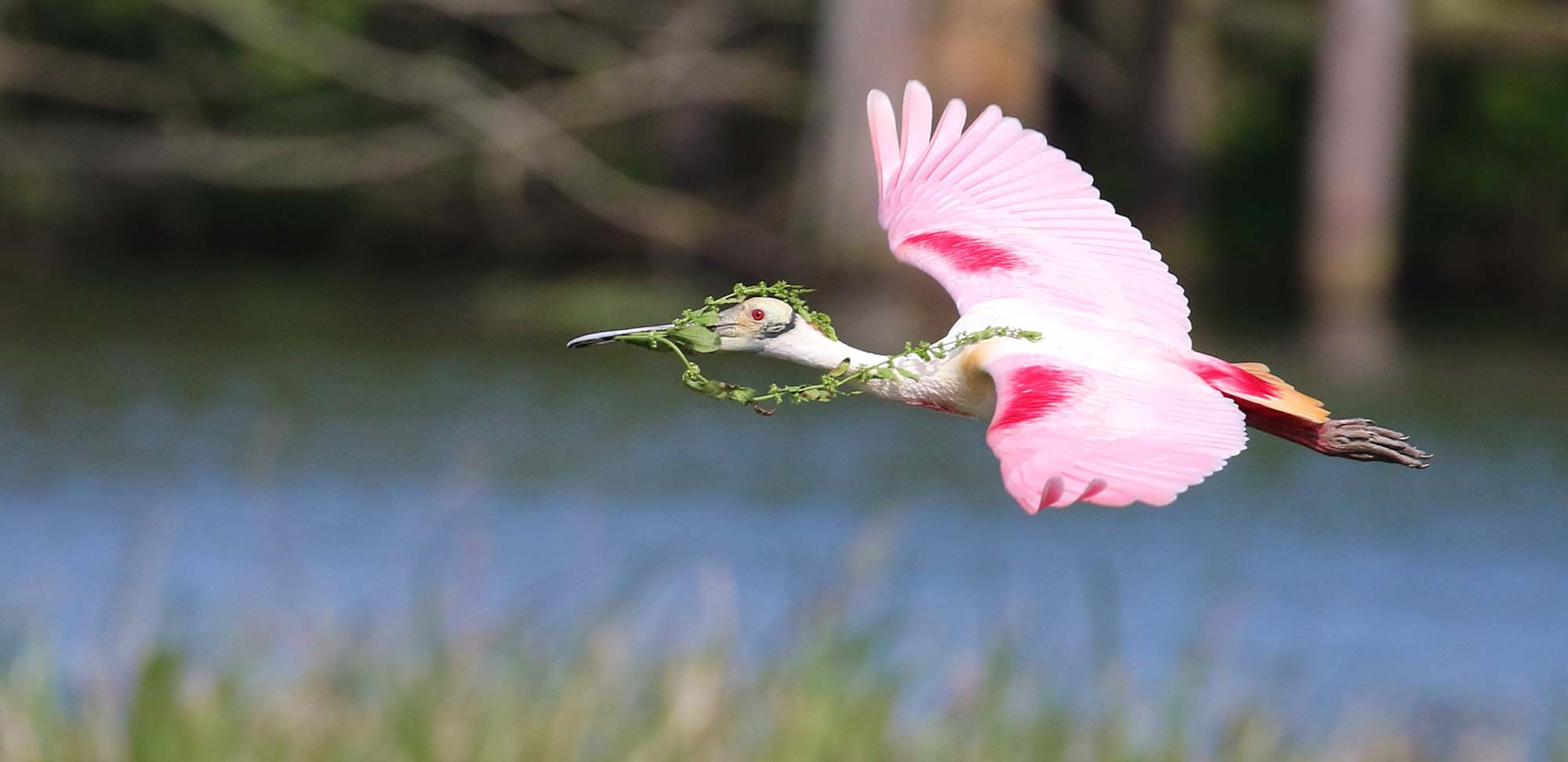 Roseate Spoonbill Field Guides Birding Tours TEXAS USA