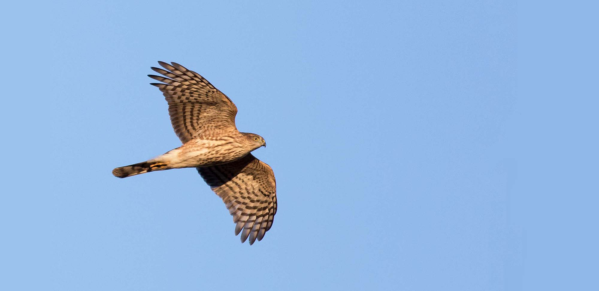 Sharp-shinned Hawk Field Guides Birding Tours VIRGINIA USA