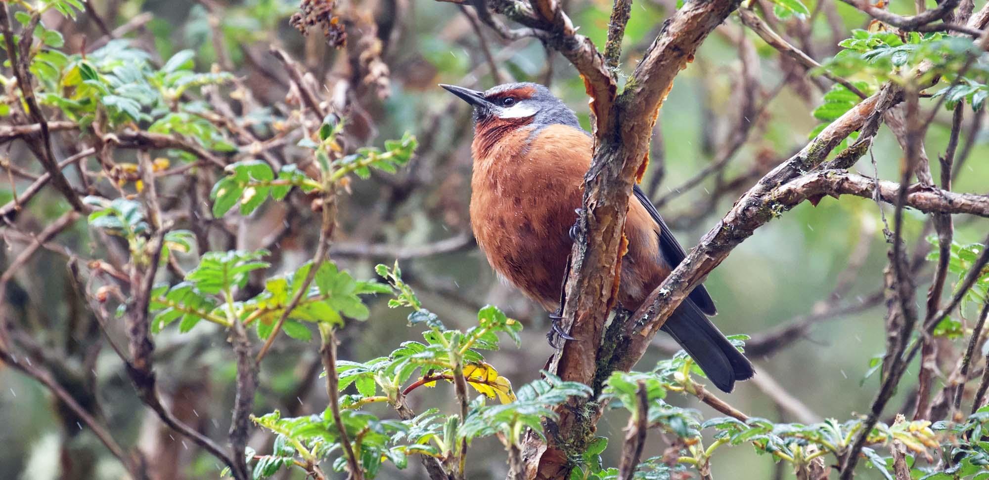 Giant Conebill Field Guides Birding Tours Ecuador