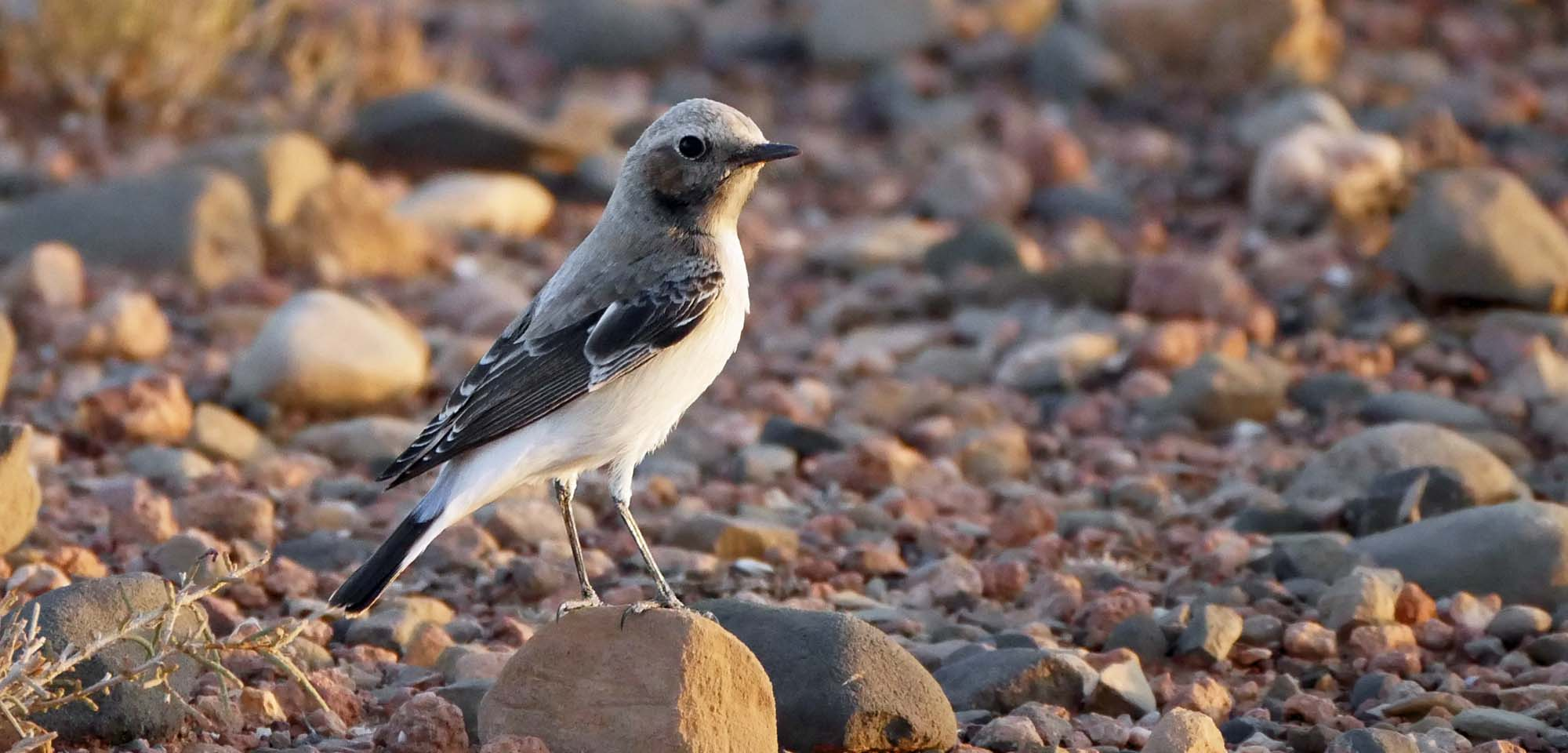 Maghreb Wheatear Field Guides Birding Tours Morocco