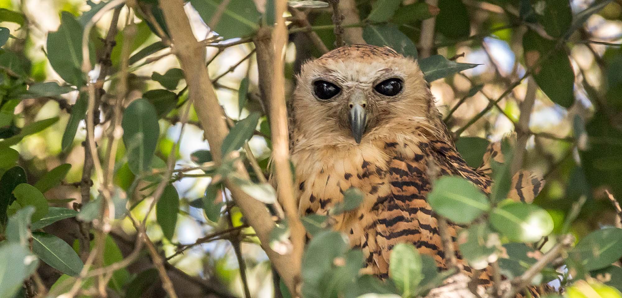 Pels Fishing-Owl Field Guides Birding Tours Namibia Botswana