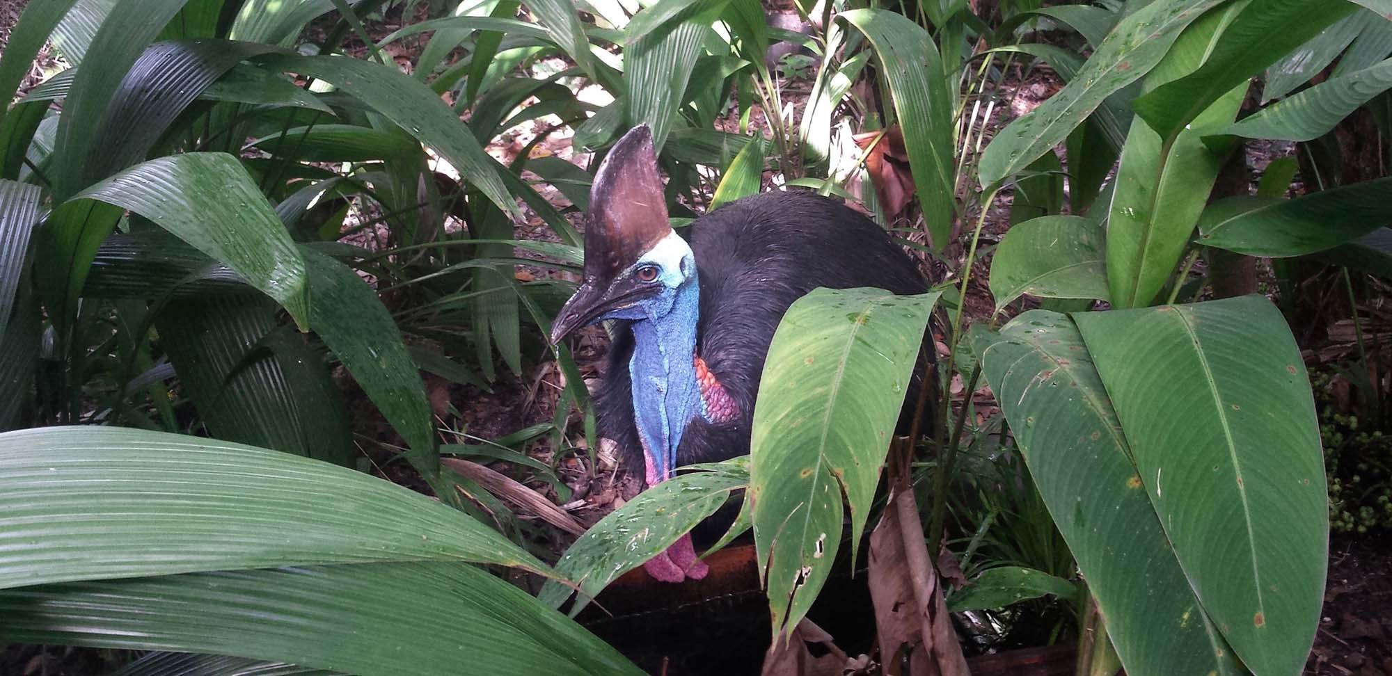 Southern Cassowary Field Guides Birding Tours Australia Papua new guinea