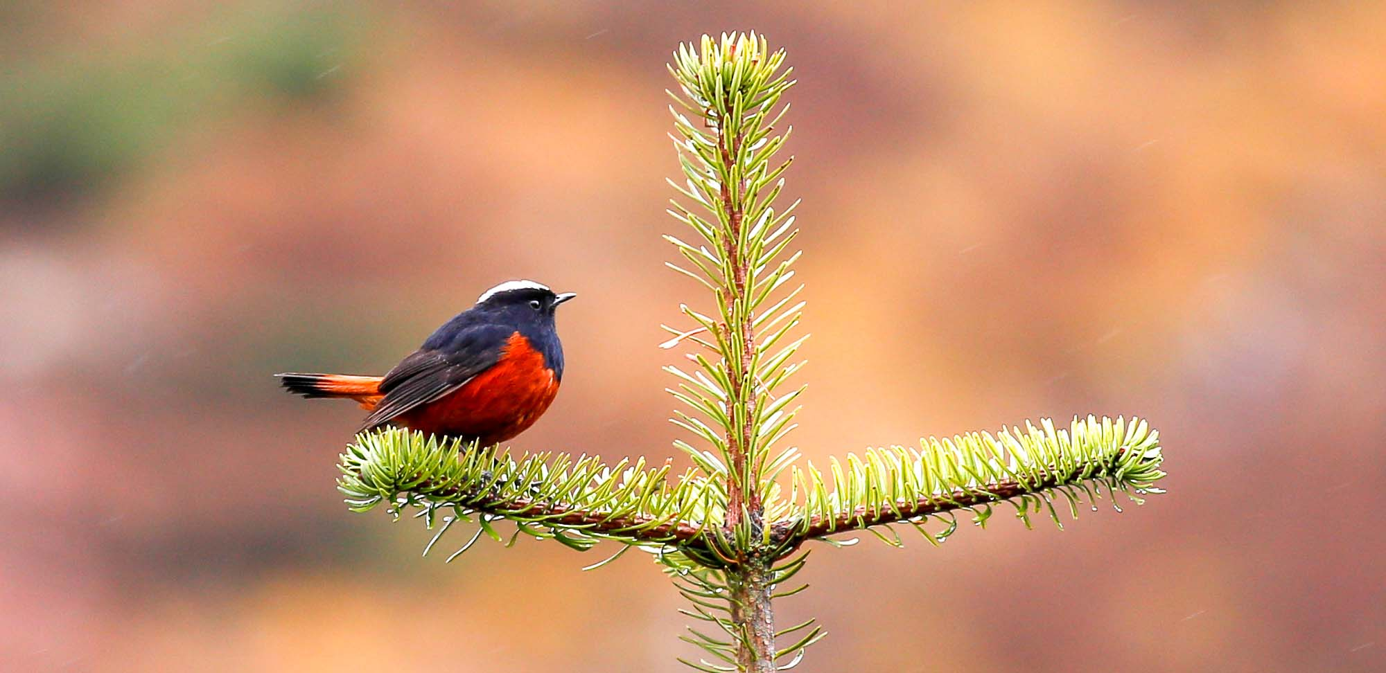 White-capped Water-Redstart Field Guides Birding Tours India