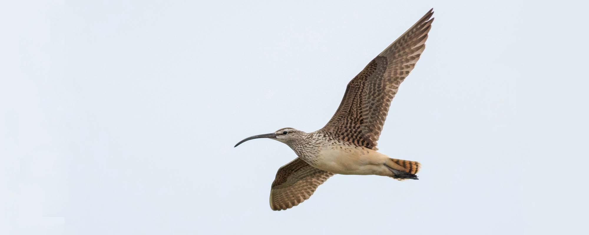 Bristle-thighed Curlew Field Guides Birding Tours ALASKA USA