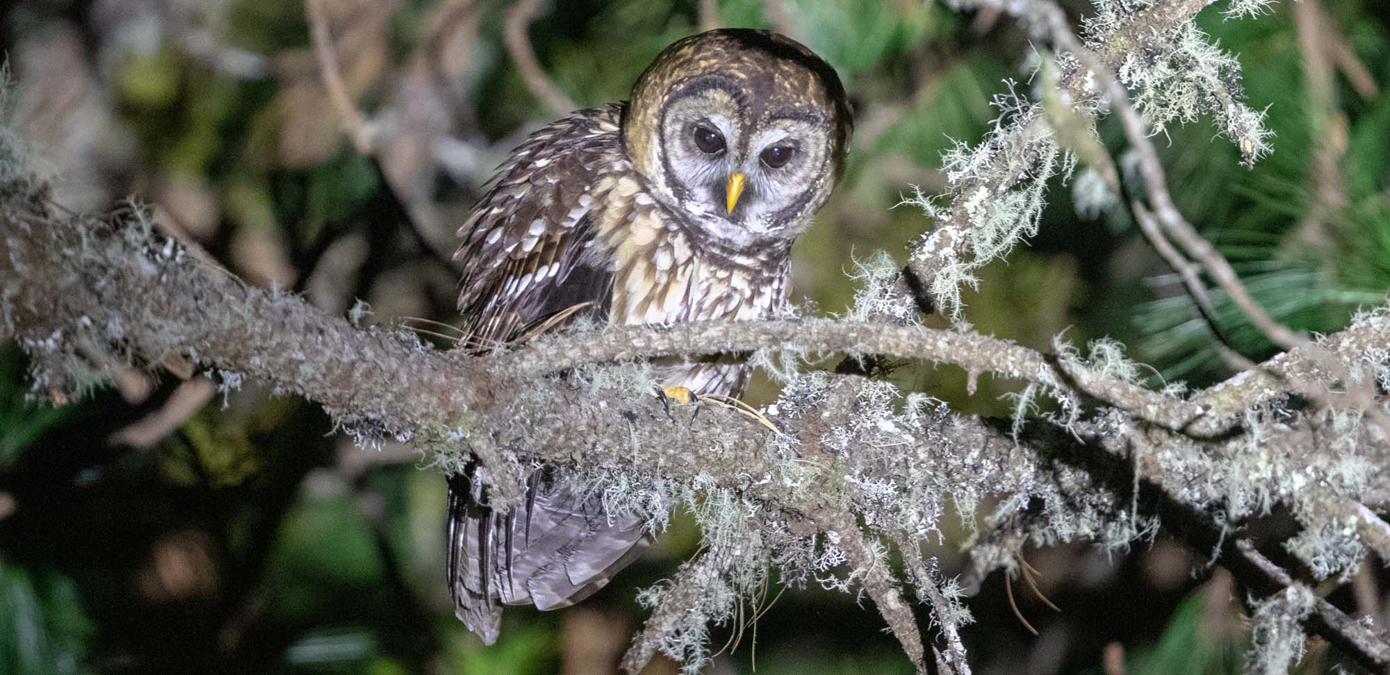 Fulvous Owl Field Guides Birding Tours Mexico