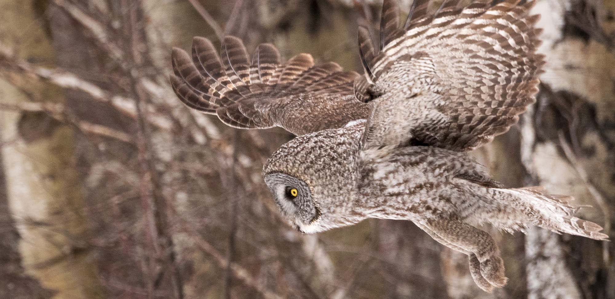 Great Gray Owl Field Guides Birding Tours Canada