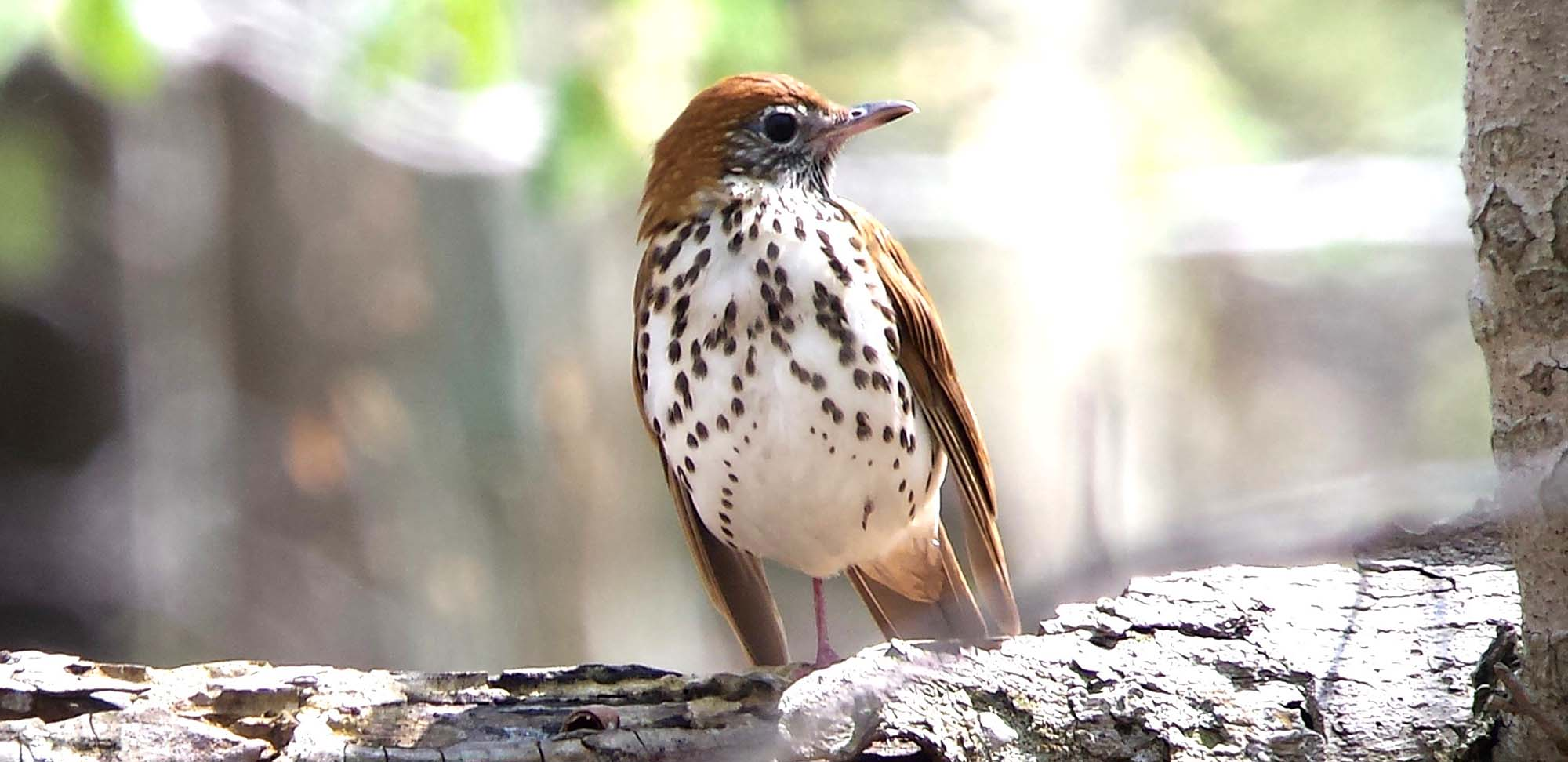Wood Thrush Field Guides Birding Tours Canada