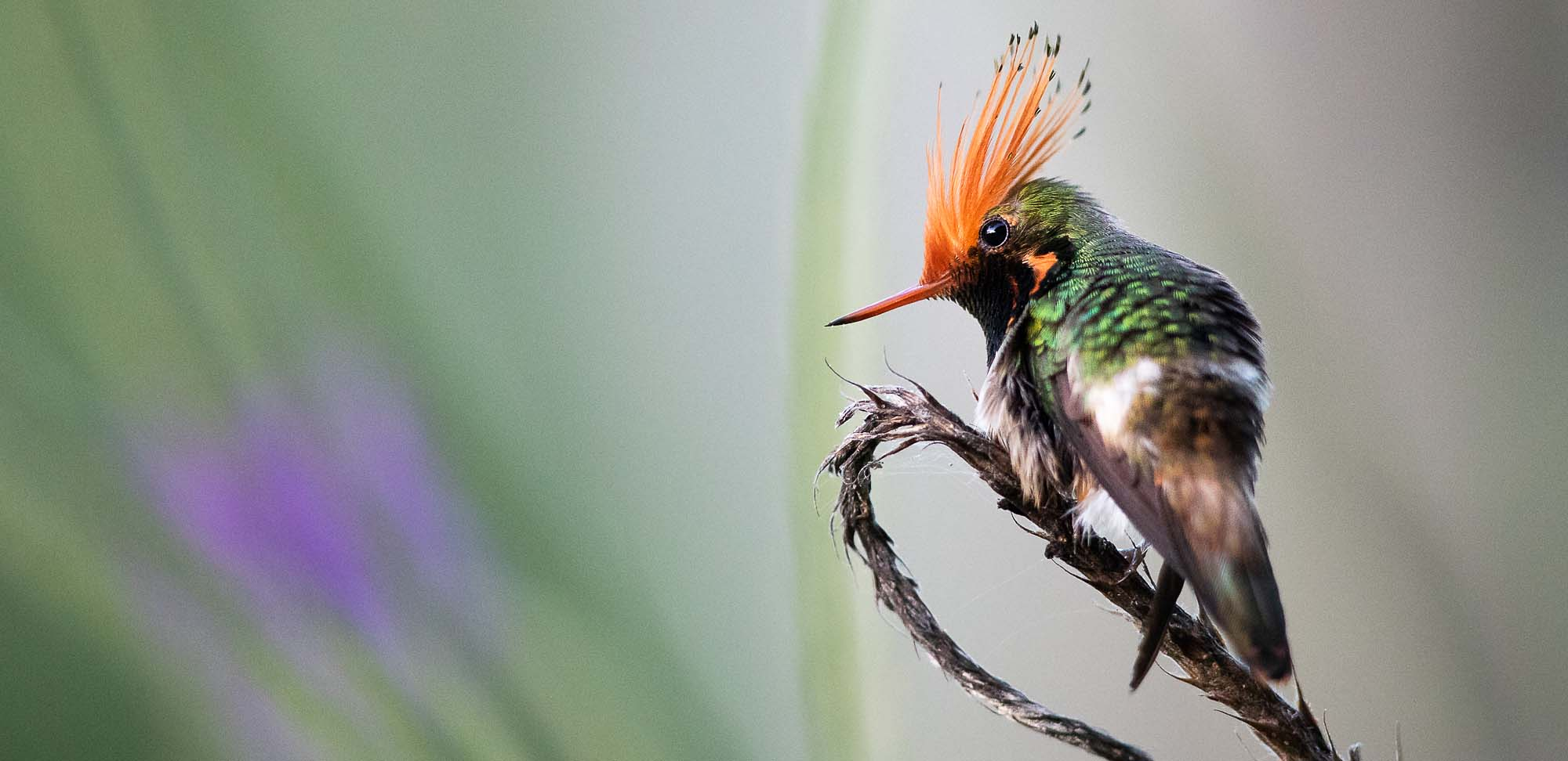 Rufous-crested Coquette Field Guides Birding Tours Peru