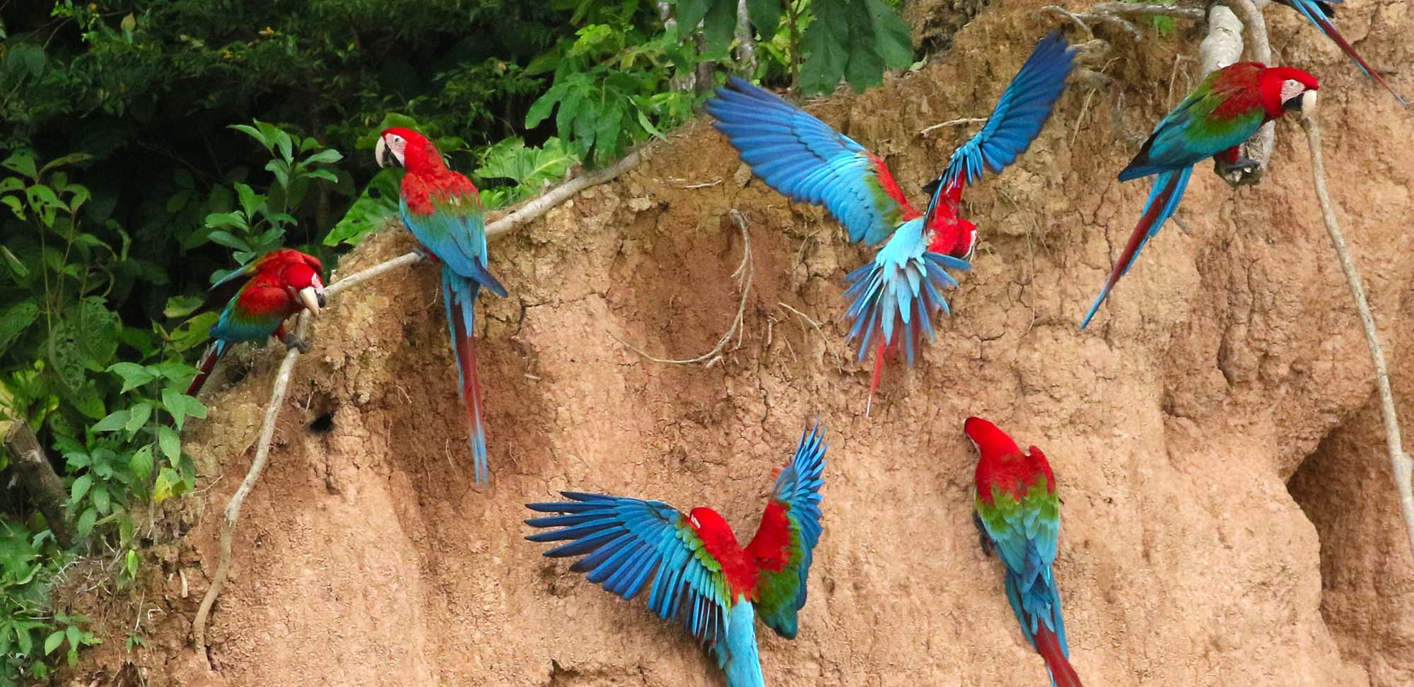 Red-and-green-macaw Field Guides Birding Tours Peru