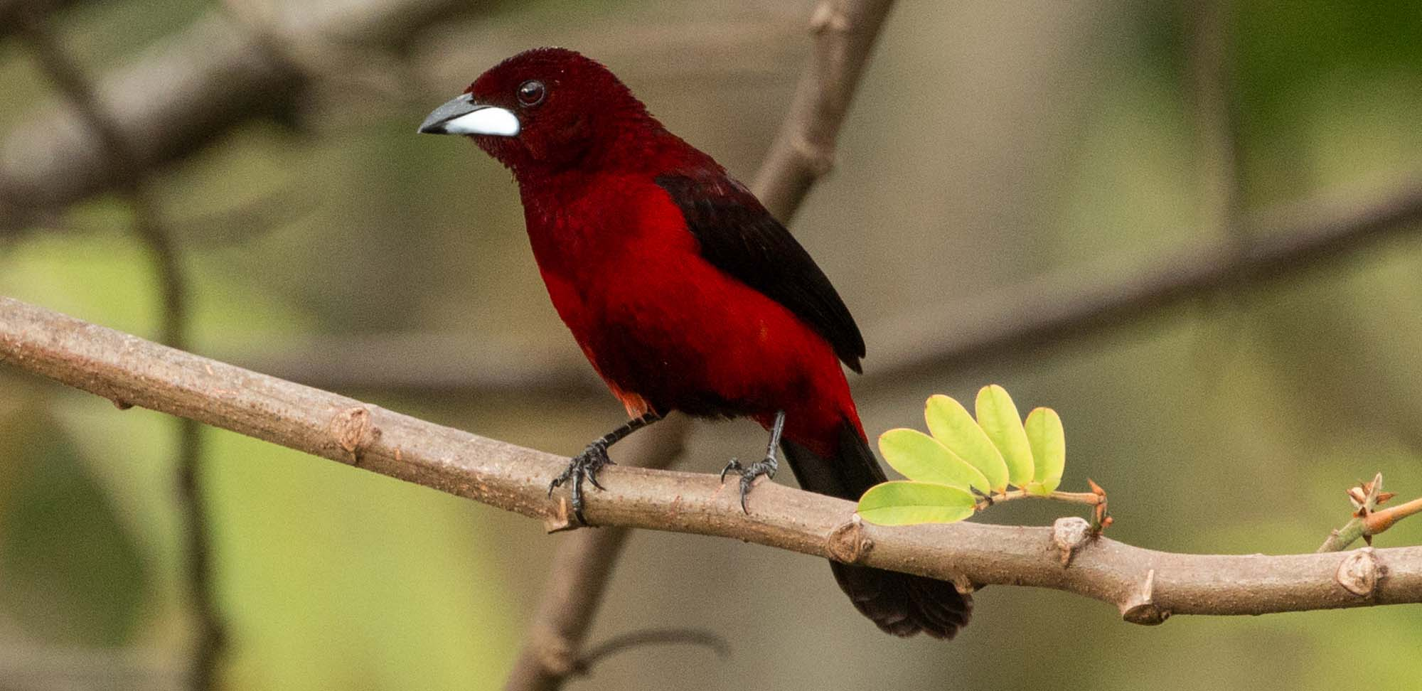 Crimson-backed Tanager Field Guides Birding Tours Panama