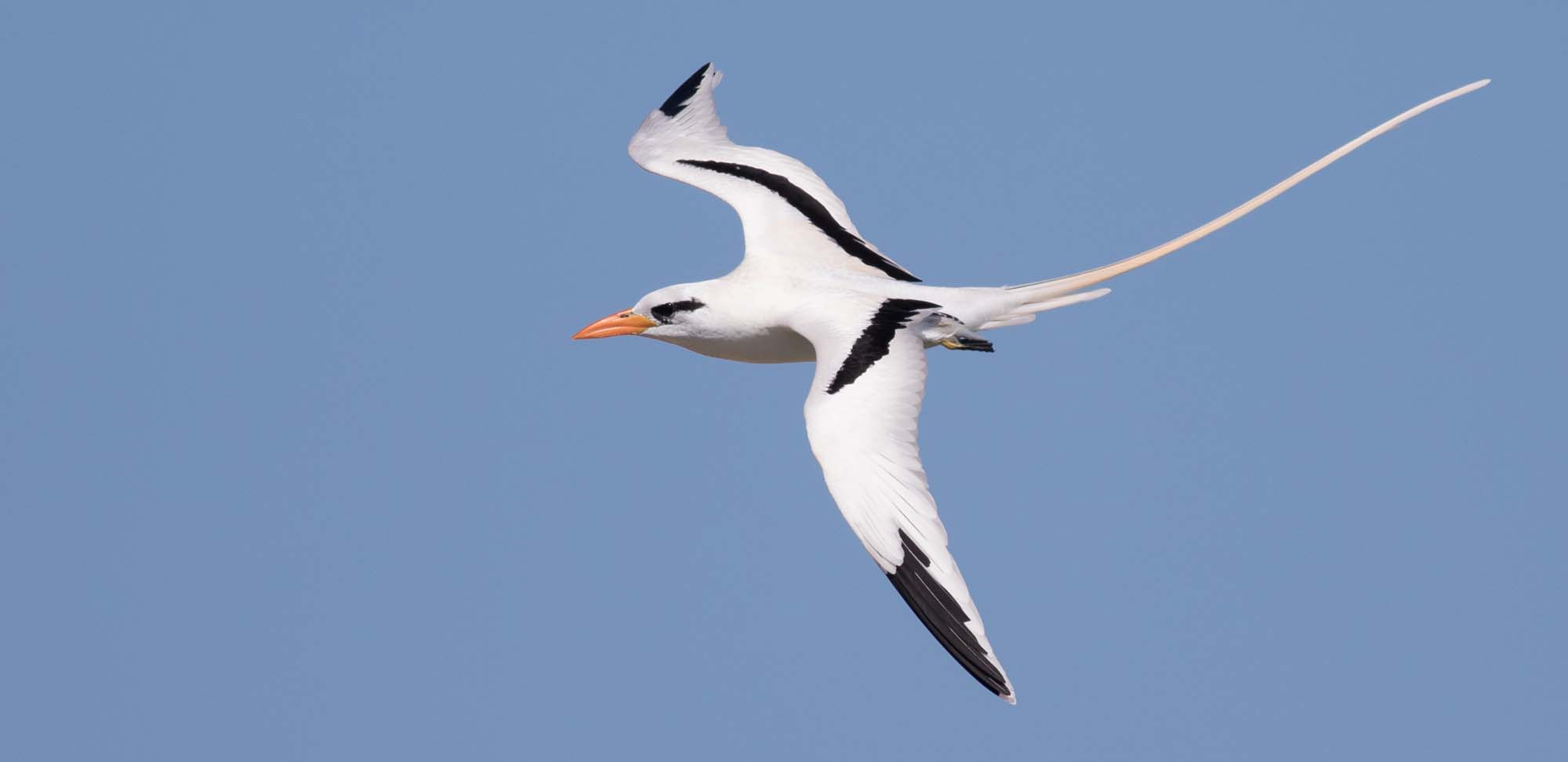 White-tailed Tropicbird Field Guides Birding Tours Puerto rico