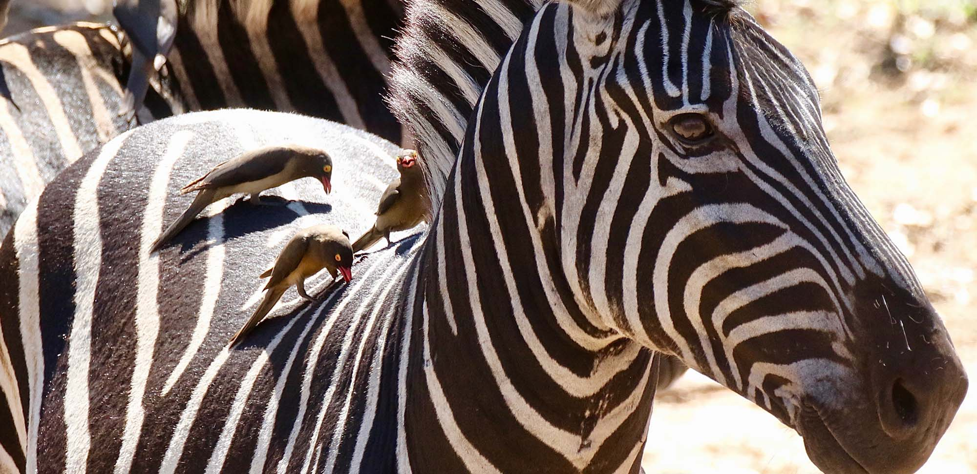Zebra with Oxpeckers Field Guides Birding Tours South africa