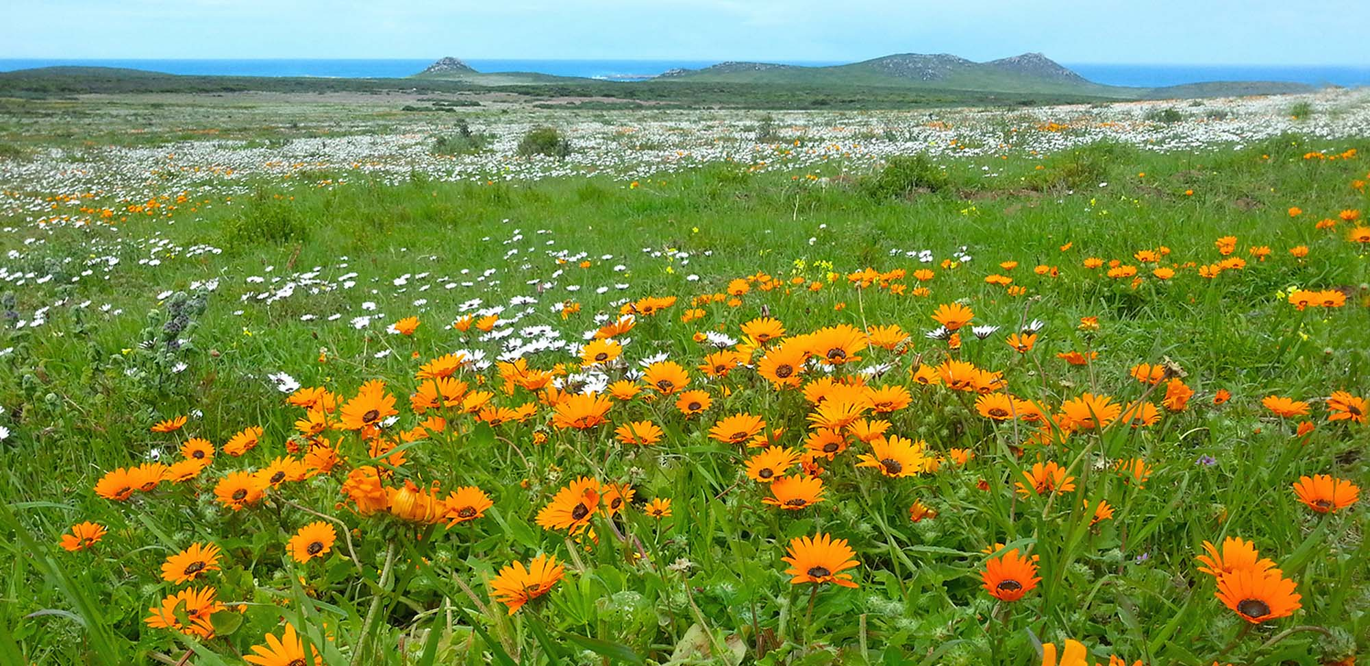 West Coast flowers Field Guides Birding Tours South africa