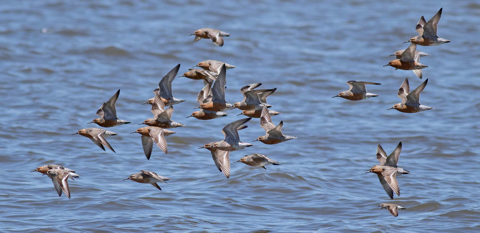 Red Knots Field Guides Birding Tours NEW JERSEY USA