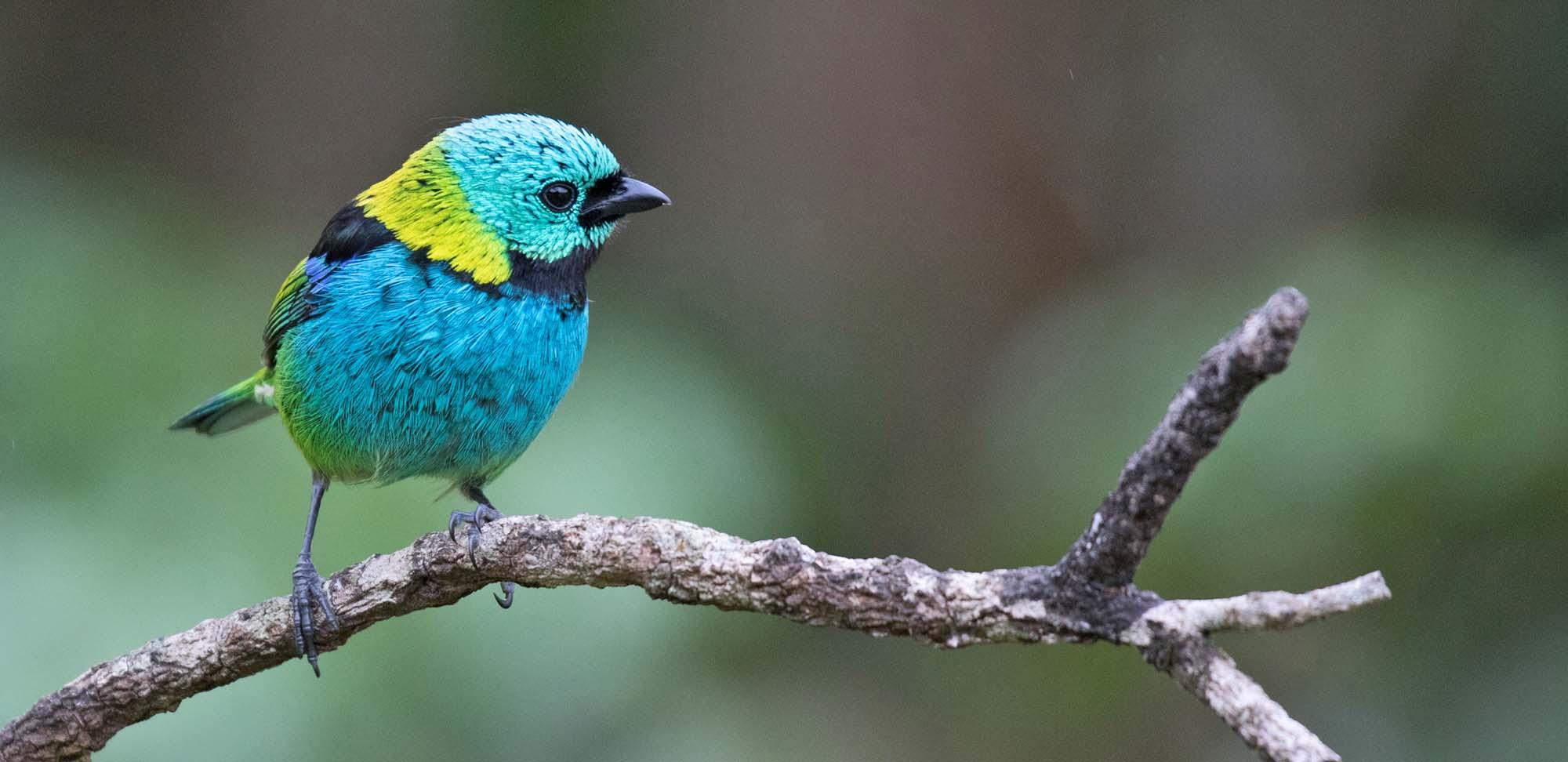 Green-headed Tanager Field Guides Birding Tours Brazil