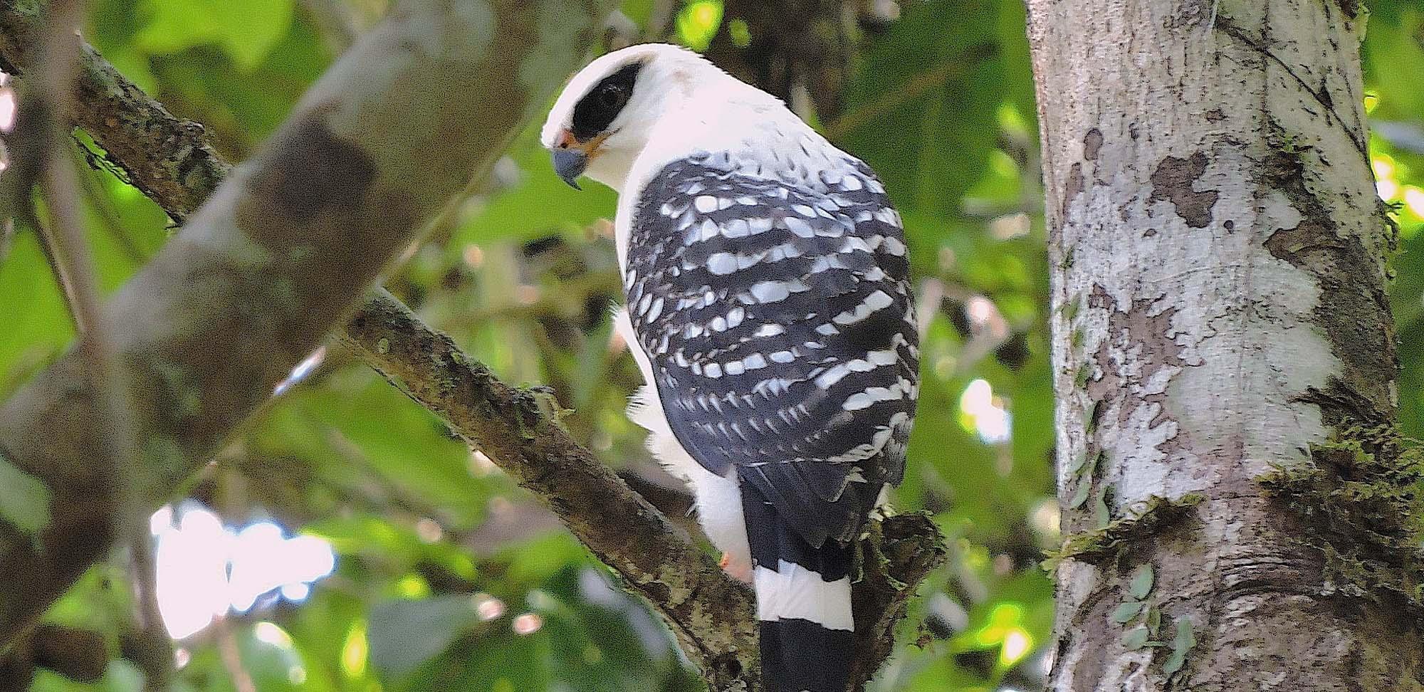 Black-faced Hawk Field Guides Birding Tours Ecuador