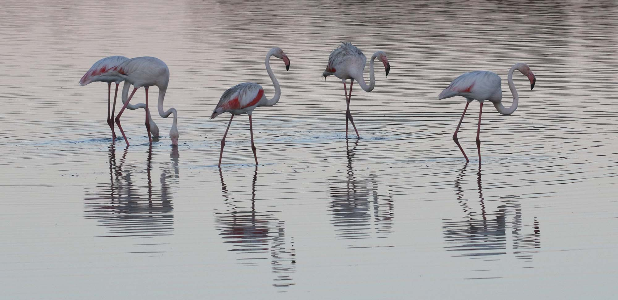 dawn flamingos Field Guides Birding Tours Spain